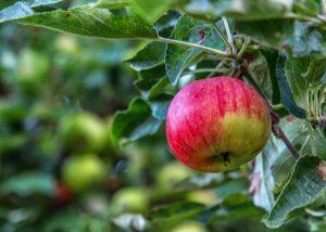 Punainen omena puussa. Aurinko paistaa.