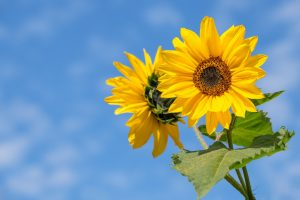 Auringonkukkia. Kuvituskuva.